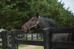Picture of a black horse leaning over a fence