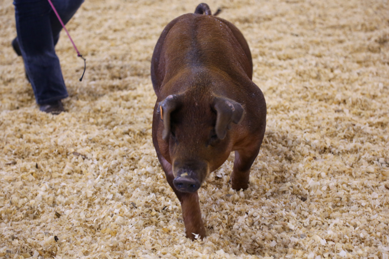 A Duroc hog at a livestock show in the ring with exhibitor.