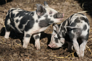 Two spotted piglets in sunlight