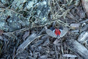 adult spotted lanternfly with wings open climbing on mulch