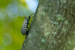 adult spotted lanternfly climbing up the side of a tree