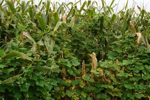 A field of corn that has the noxious weed burcucumber climbing up the corn plants