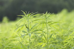 Close up of two hemp plants in a agricultural field.