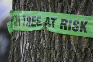 Sign wrapped around ash tree warning of emerald ash borer
