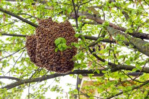 Swarm of bees in tree branches