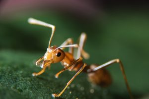 Single fire ant on leaf