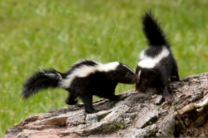 Two young skunks playing on a log out in the grass
